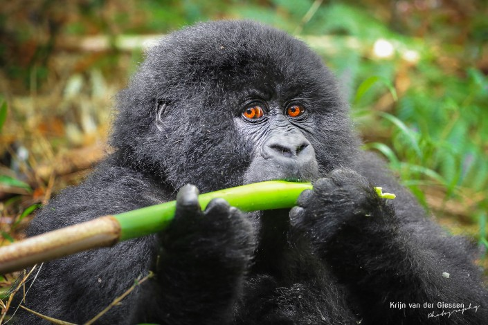 Baby Mountain Gorilla Eating Bamboo copyright by Krijn van der GIessen Photography