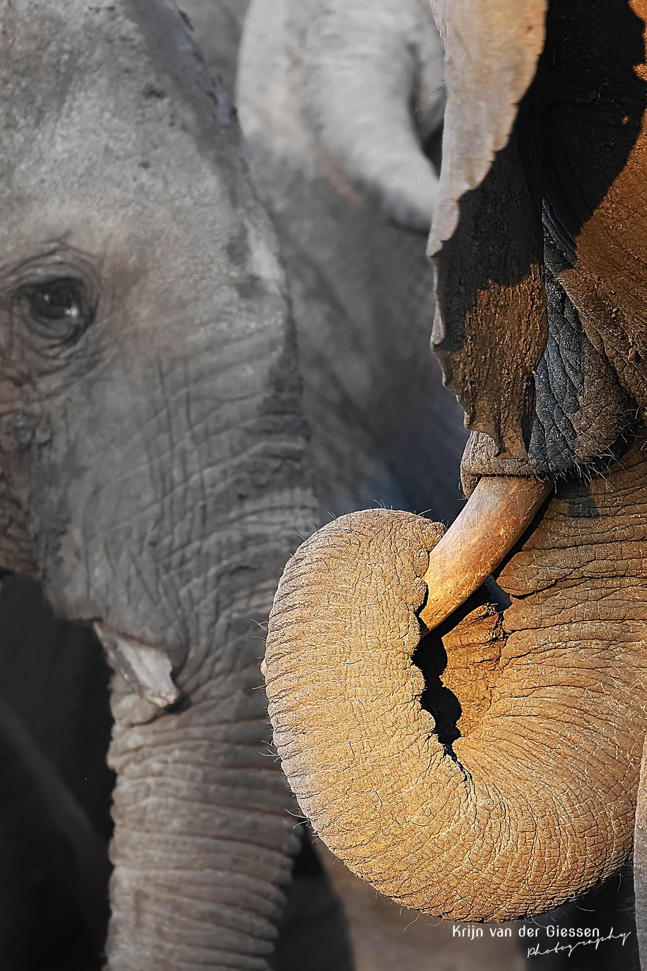Elephant Trunk In Sun In Chobe National Park Botswana Copyright By Krijn  Van Der Giessen Photography