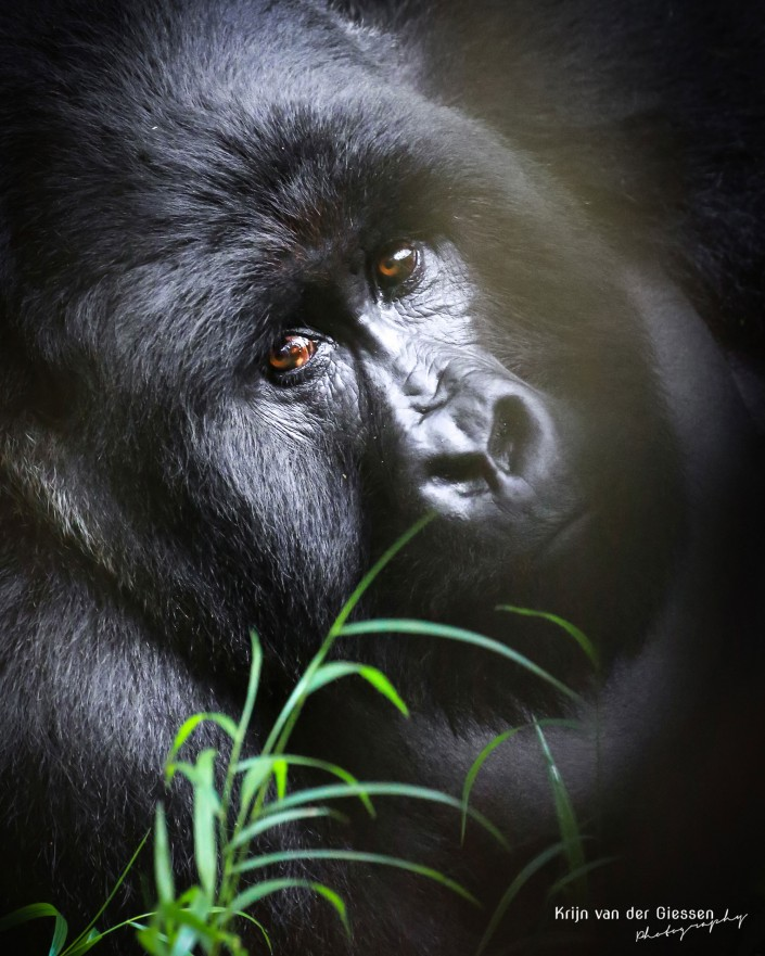 Mountain Gorilla close up in Mgahinga Gorilla National Park copyright by Krijn van der
