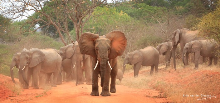 Group of elephants in tsavo National Park Kenya copyright by krijn van der Giessen Photography