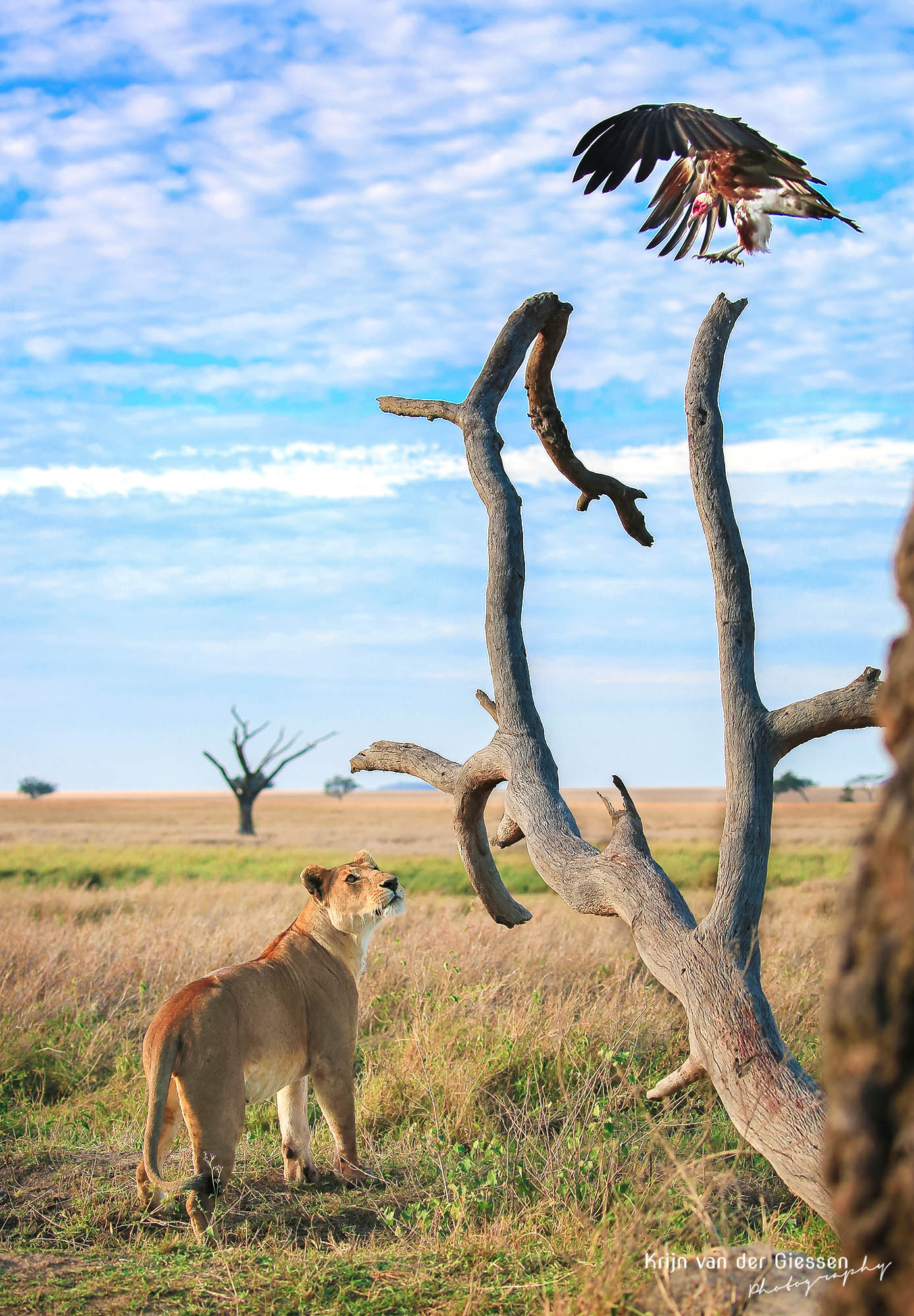 Lion vs Vulchure Tanzania Serengeti copyright by krijn van der Giessen Photography