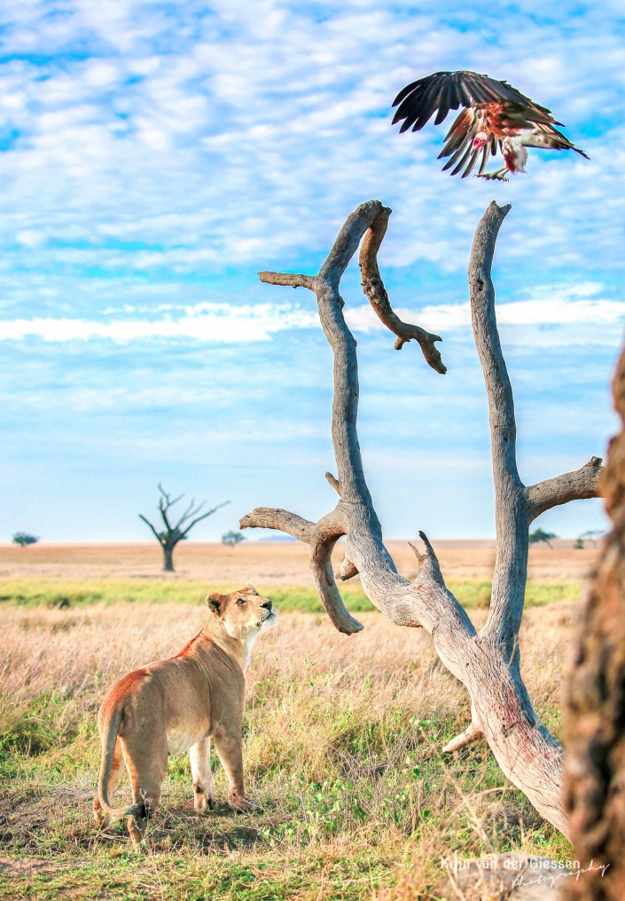 Lion vs Vulture in Serengeti by Krijn van der Giessen