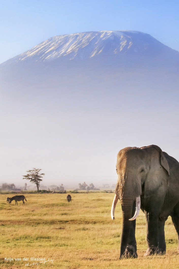 Elephant in fron of Mount Kilimanjaro