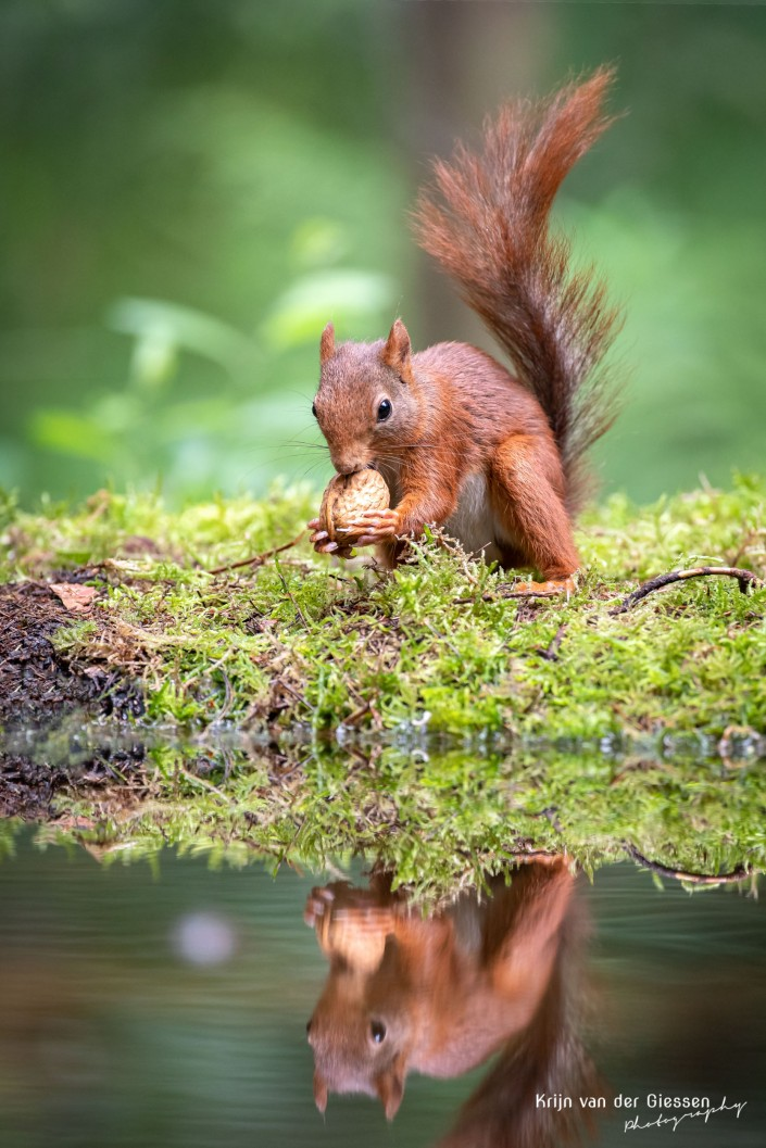 Squirrel eating walnut with reflection in water - copyright by Krijn van der Giessen Photography