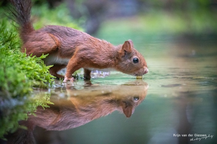 Squirrel drinking water with reflection - copyright by Krijn van der Giesen Photography