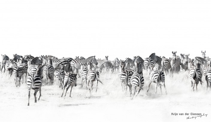 Zebras in dust in Serengeti by Krijn van der Giessen