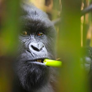 Spying on Gorillas
