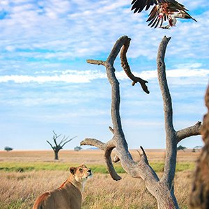Lion vs vulchure
