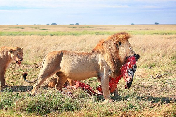 Lion with zebra carcass copyright by Krijn van der Giessen Photography