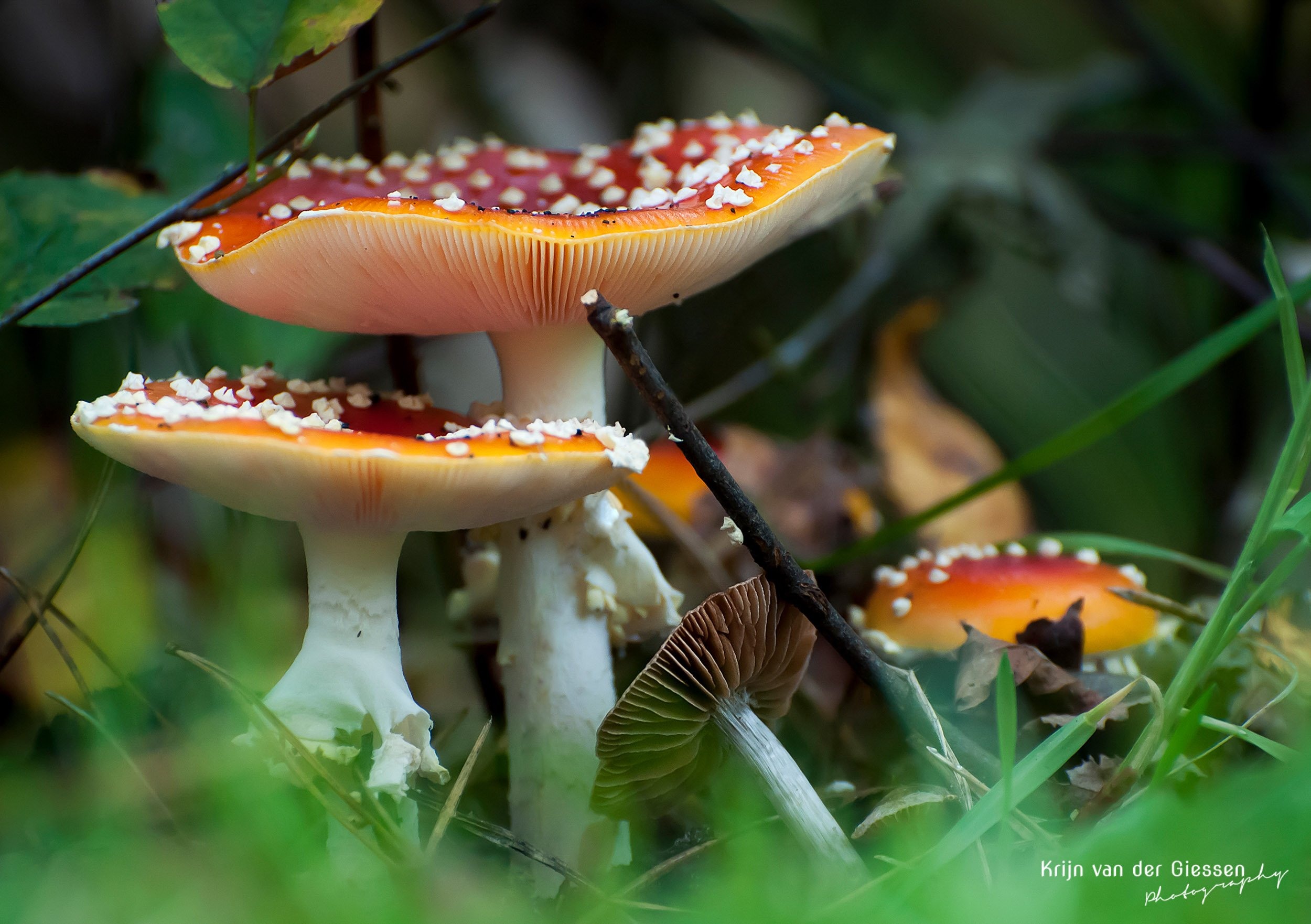 Mushrooms in forest by Krijn van der Giessen Photography