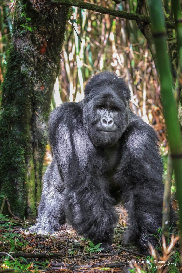 Mountain Gorilla Mgahinga Gorilla National Park Uganda Krijn van der Giessen Photography Copyright-4