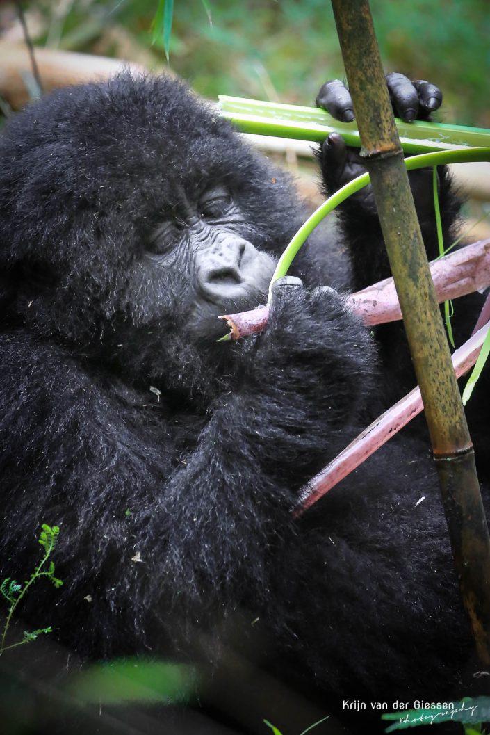 Mountain Gorilla Mgahinga Gorilla National Park Uganda Krijn van der Giessen Photography Copyright-5