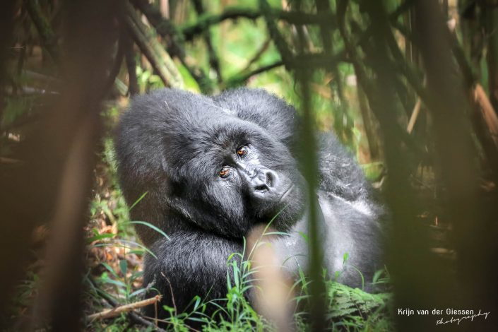 Mountain Gorilla Mgahinga Gorilla National Park Uganda Krijn van der Giessen Photography Copyright-8