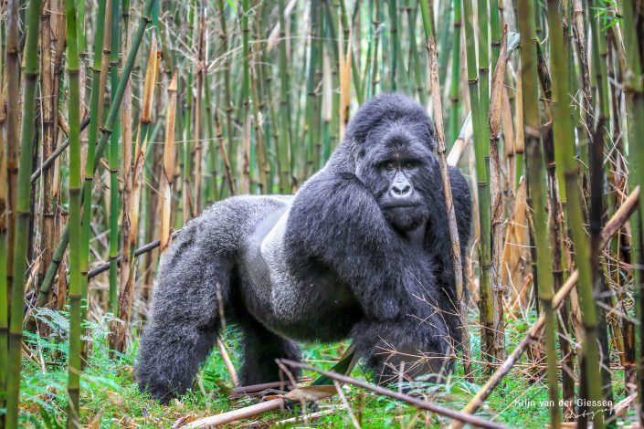 Mountain Gorilla Mgahinga Gorilla National Park Uganda Krijn van der Giessen Photography Copyright-9