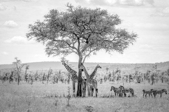 Giraffe zebra serengeti
