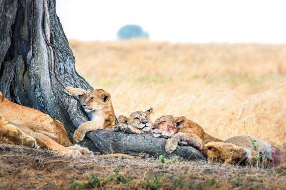 Leeuwen welpjes Krijn van der Giessen Photography Tanzania Photo Tour