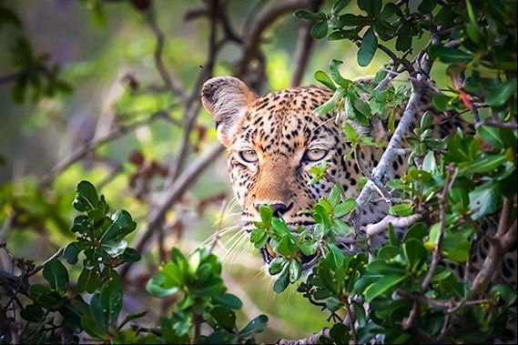 Leopard peaking through bush