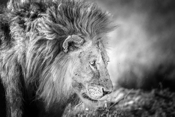 Lion in Black White