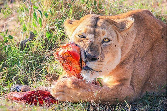 Lion with bone
