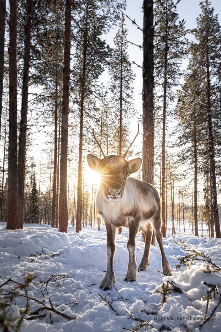 Reindeer backlight in Sweden Lapland Copyright by Krijn van der Giessen Photography