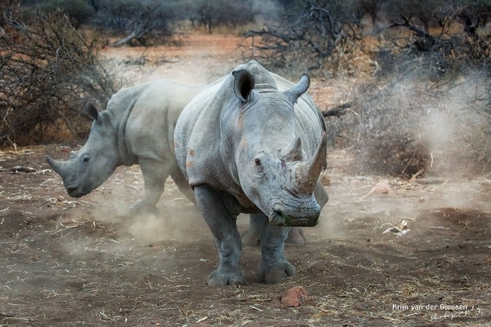 Rhinos in Botswana copyright by Krijn van der Giessen Photography