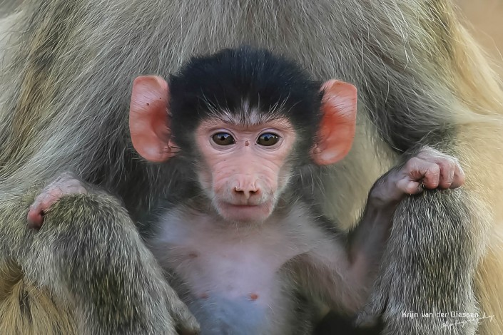 Baby Baboon South luangwa national park Zambia copyright by krijn van der Giessen Photography
