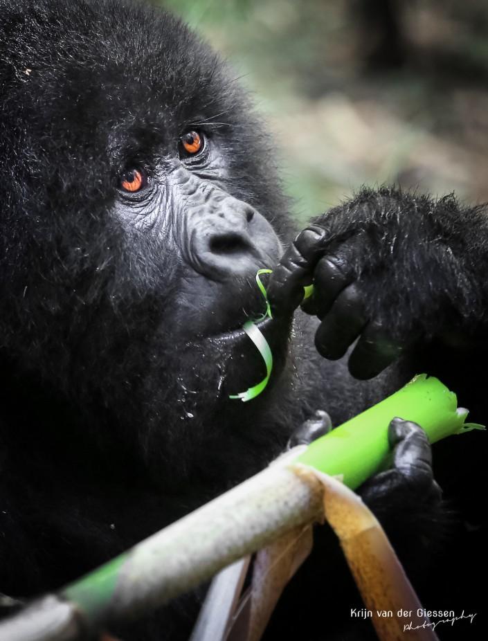 Baby-gorilla-eating bamboo Mgahinga GNP Uganda