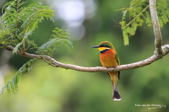Bee-eater on branch in uganda copyright by krijn van der Giessen Photography