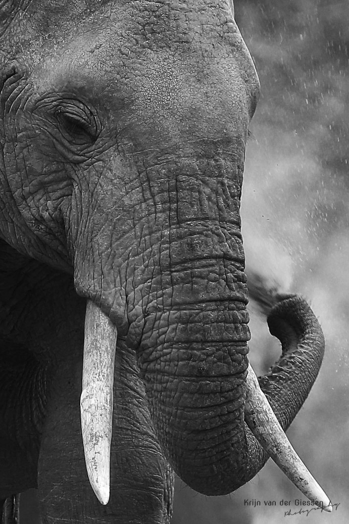 Elephant blowing dust in Tsavo National Park Kenya copyright by krijn van der Giessen Photography