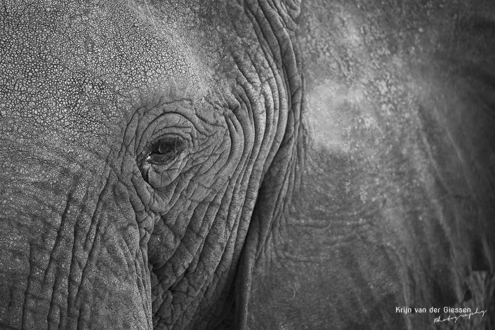 Elephant close up eye in Chobe National park Botswana copyright by krijn van der Giessen Photography