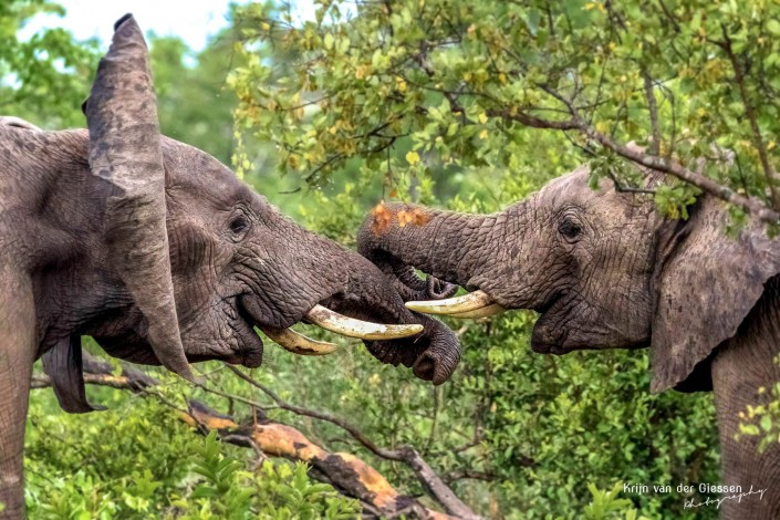 Fighting elephants in Krugerpark copyright Krijn van der Giessen Photography