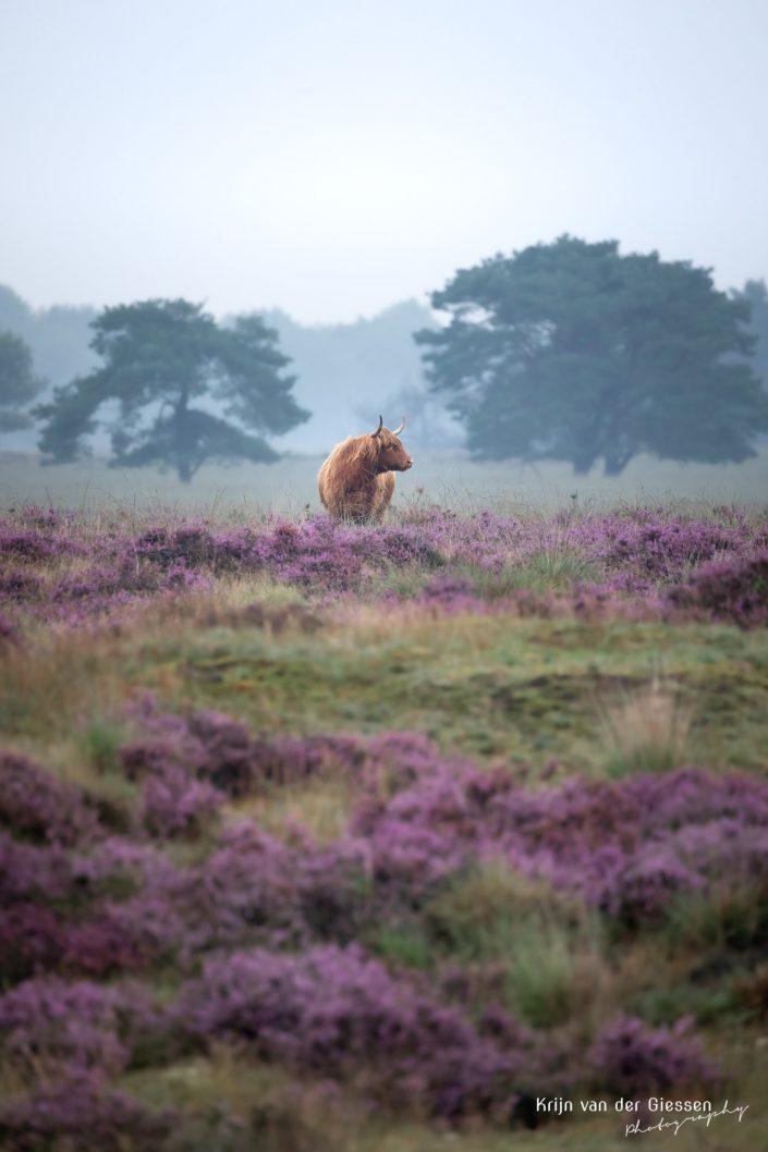 Schotse Hooglander Oeros Drents Friese Wold Drenthe in paarse heide