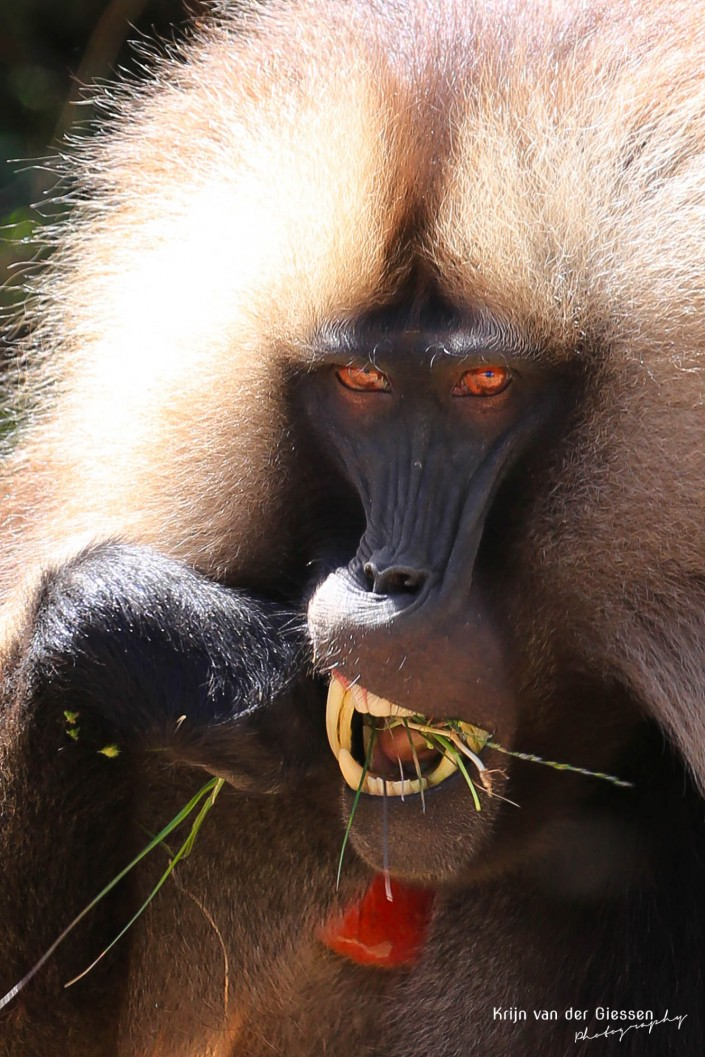 Gelada Baboon Simien mountains Ethiopia eating grass copyright by krijn van der Giessen Photography