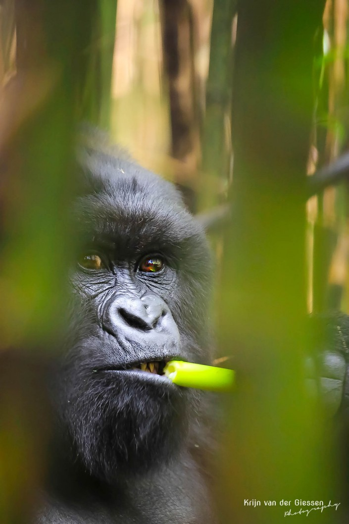 Gorilla in Uganda eating Bamboo copyright by krijn van der Giessen Photography