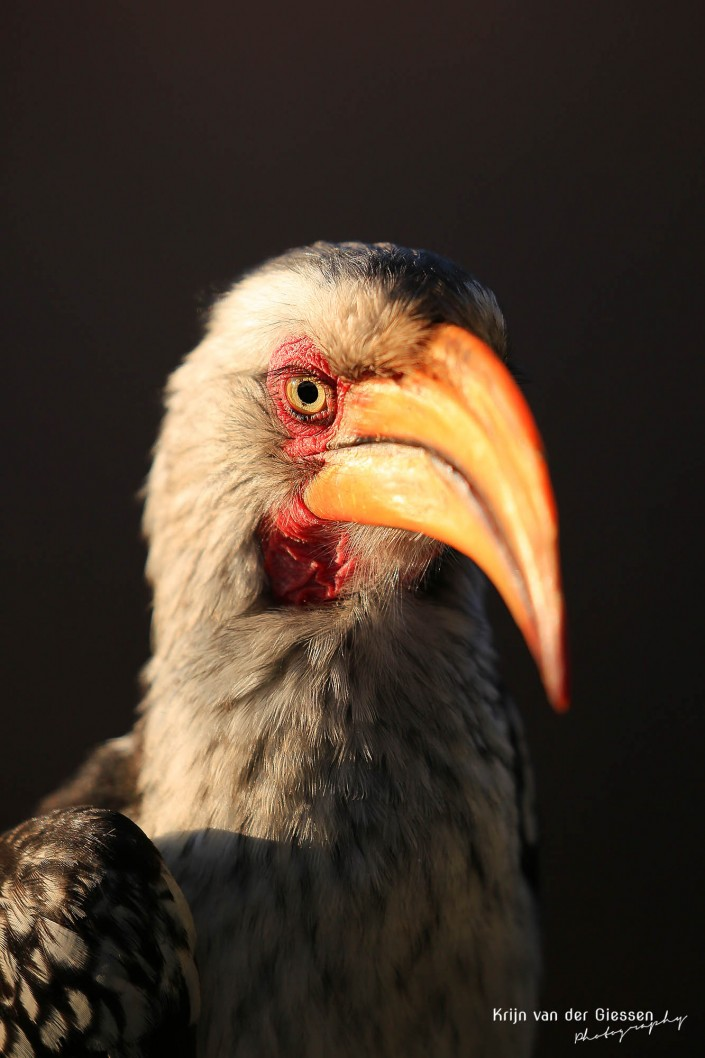 Hornbill close up with his yellow beak lit up by the golden sun copyright by krijn van der Giessen Photography