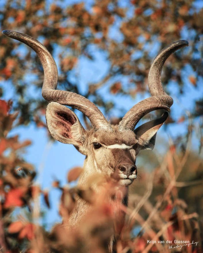Male Kudu in Autumn Forrest