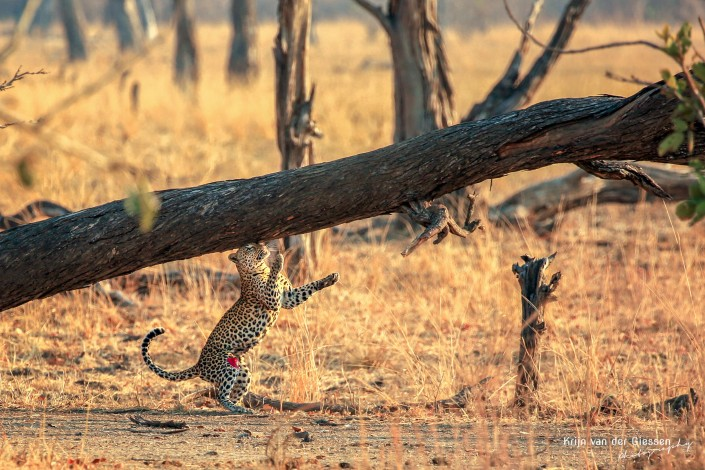Leopard marking South Luangwa NP - Copyright by Krijn van der Giessen Photography