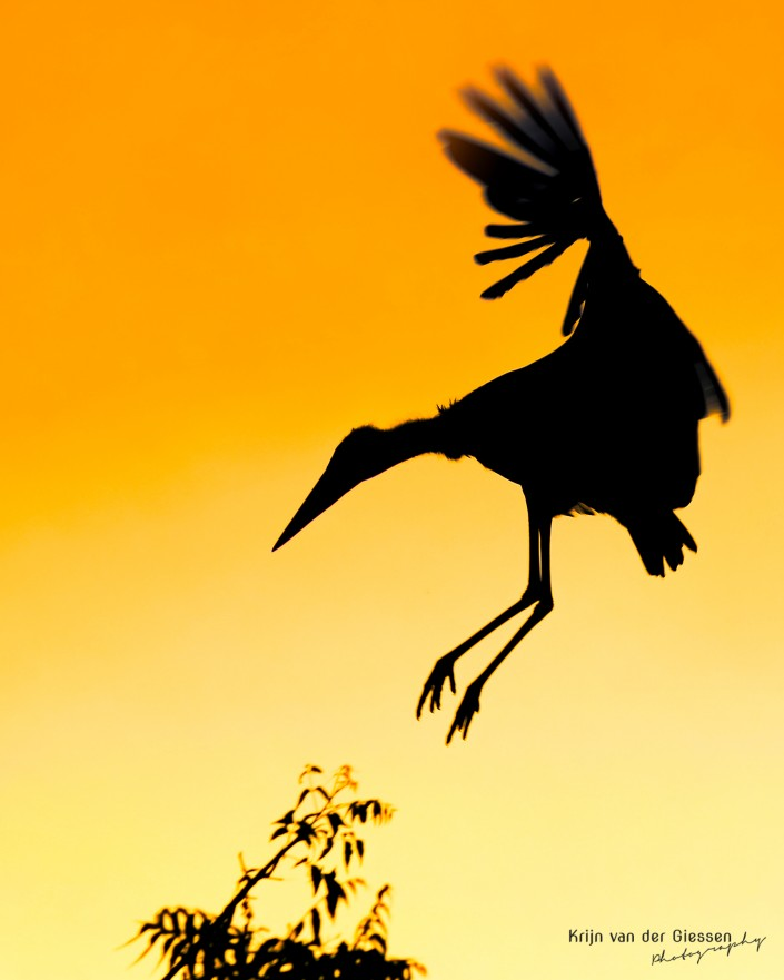 Marabou Stork returns to nest in sunset Krijn van der Giessen Photography