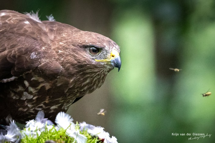 Buzzard close up with wasps flying around - copyright by Krijn van der Giessen Photography