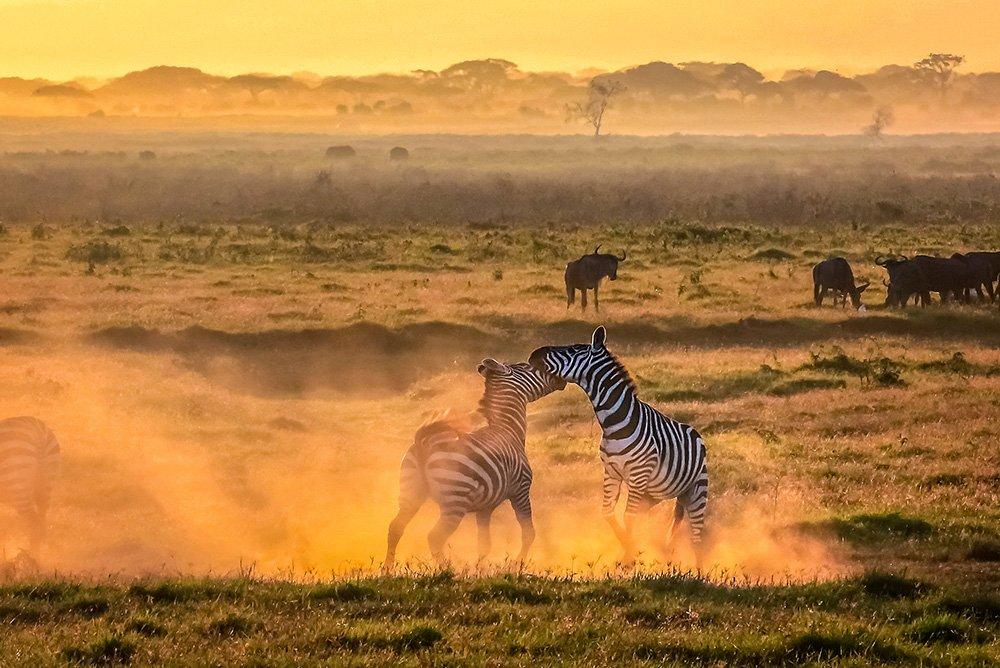 Zebras-vechten-in-zonsopkomst-Amboseli-