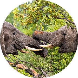 Elephants playing Kruger NP