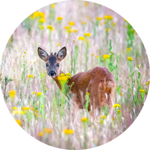 Roe deer in the Netherlands copyright by Krijn van der Giessen