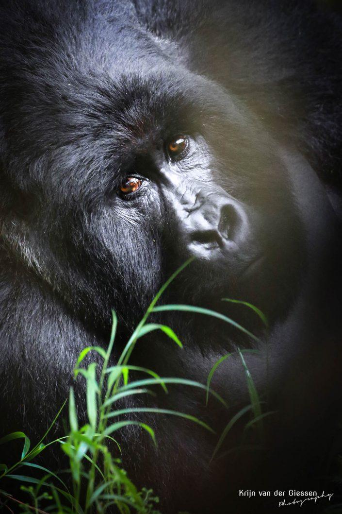 Mountain Gorilla Mgahinga Gorilla National Park Uganda Krijn van der Giessen Photography Copyright-1