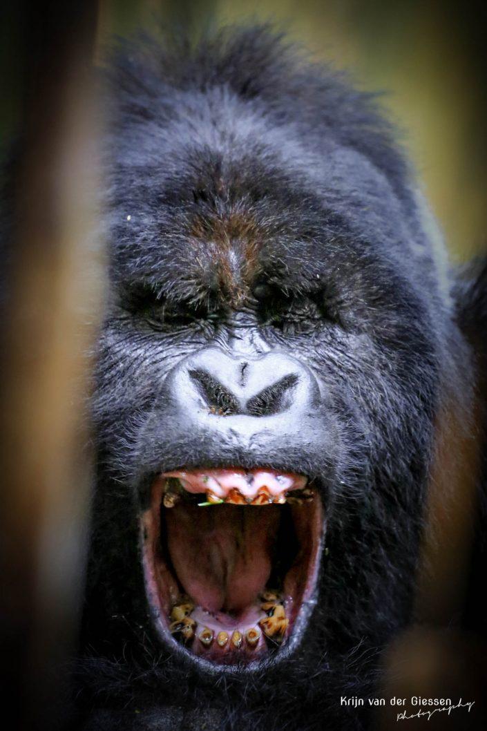 Mountain Gorilla Mgahinga Gorilla National Park Uganda Krijn van der Giessen Photography Copyright-10