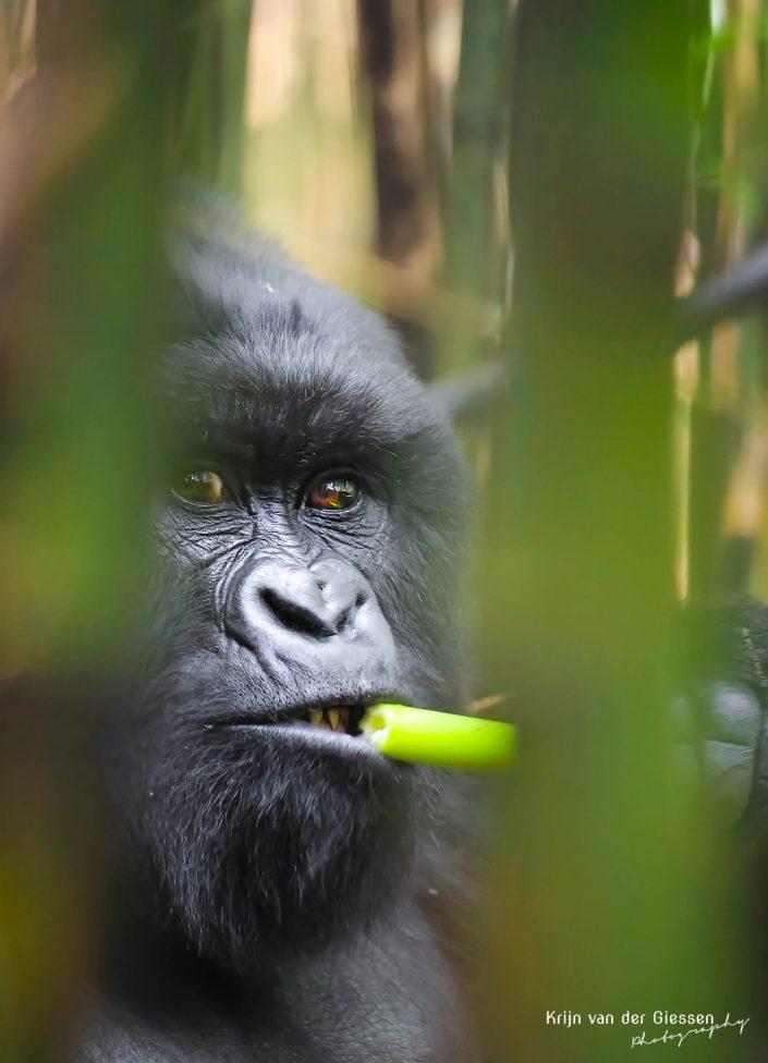 Mountain Gorilla Mgahinga Gorilla National Park Uganda Krijn van der Giessen Photography Copyright-11