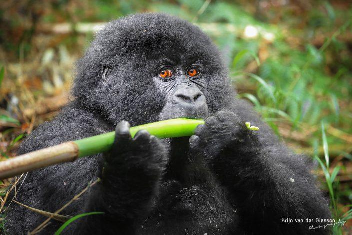 Mountain Gorilla Mgahinga Gorilla National Park Uganda Krijn van der Giessen Photography Copyright-3