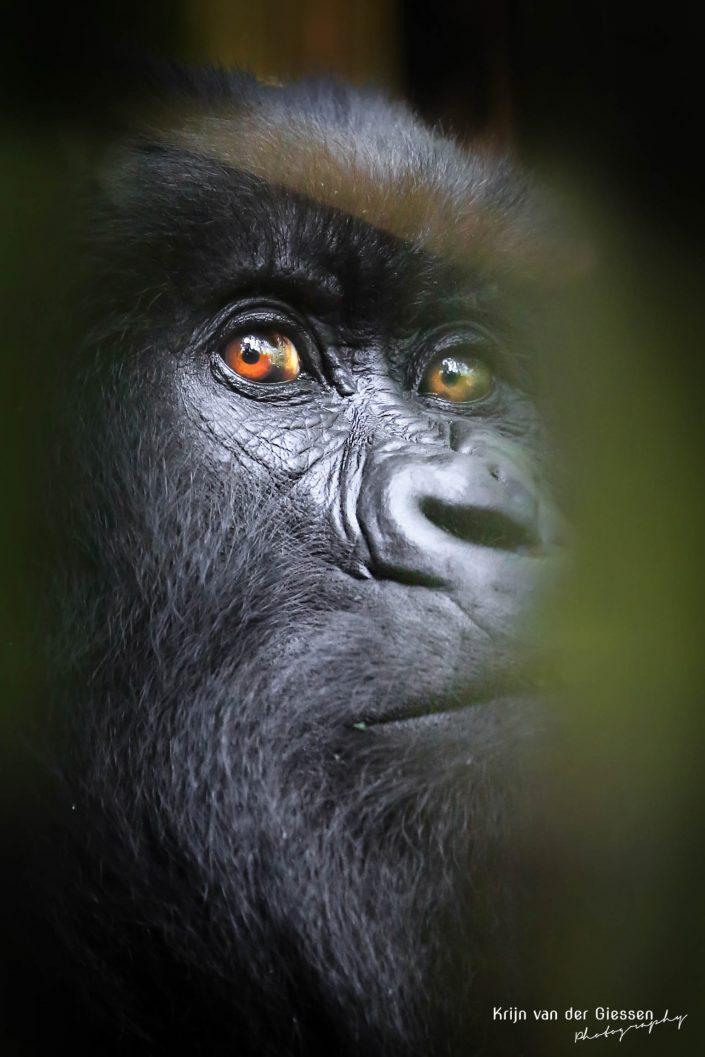 Mountain Gorilla Mgahinga Gorilla National Park Uganda Krijn van der Giessen Photography Copyright-6