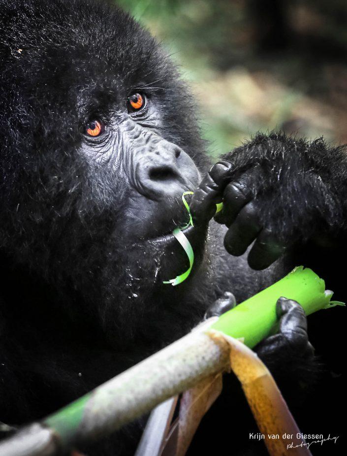 Mountain Gorilla Mgahinga Gorilla National Park Uganda Krijn van der Giessen Photography Copyright-7