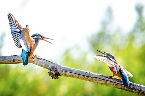Ijsvogels-vechten-op-tak by Krijn van der Giessen