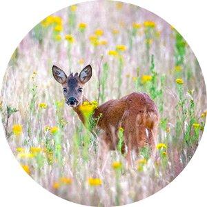 Roe deer in the Netherlands copyright by Krijn van der Giessen